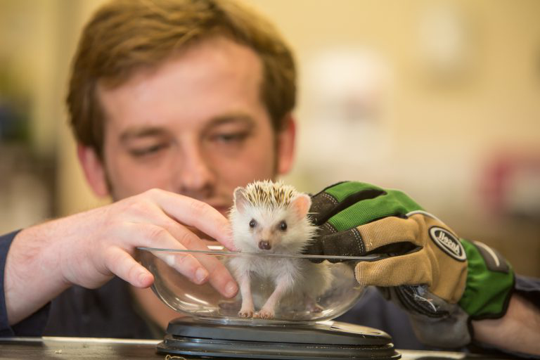 Animal science student weighing hedgehog.